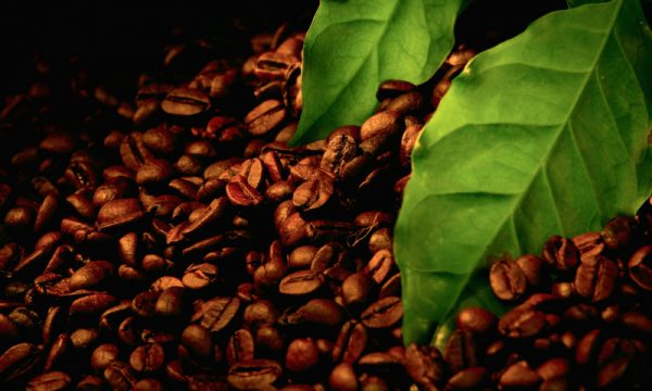 Лучшие сорта турецкого кофе: посадка и уход